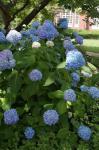Nå blomstrer kanskje dine hortensiaer også, Greet?